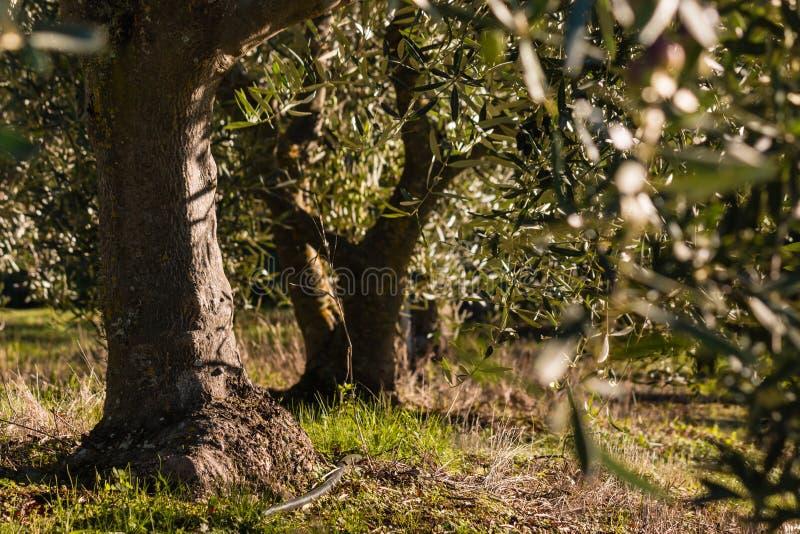 Oliveiras velhas no bosque verde-oliva imagens de stock royalty free
