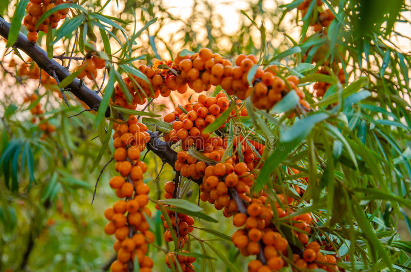 Olivello spinoso delle bacche di tramonto fotografia stock