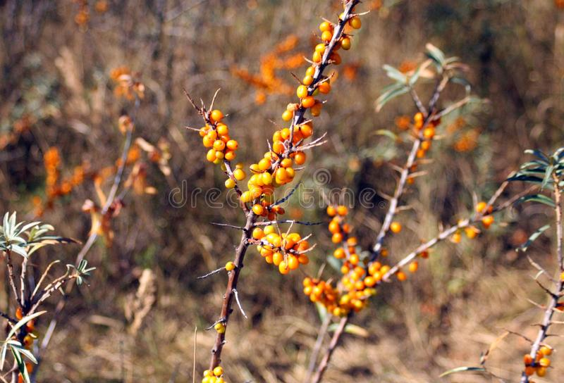 Olivello spinoso, natura e bacche arancio immagine stock libera da diritti