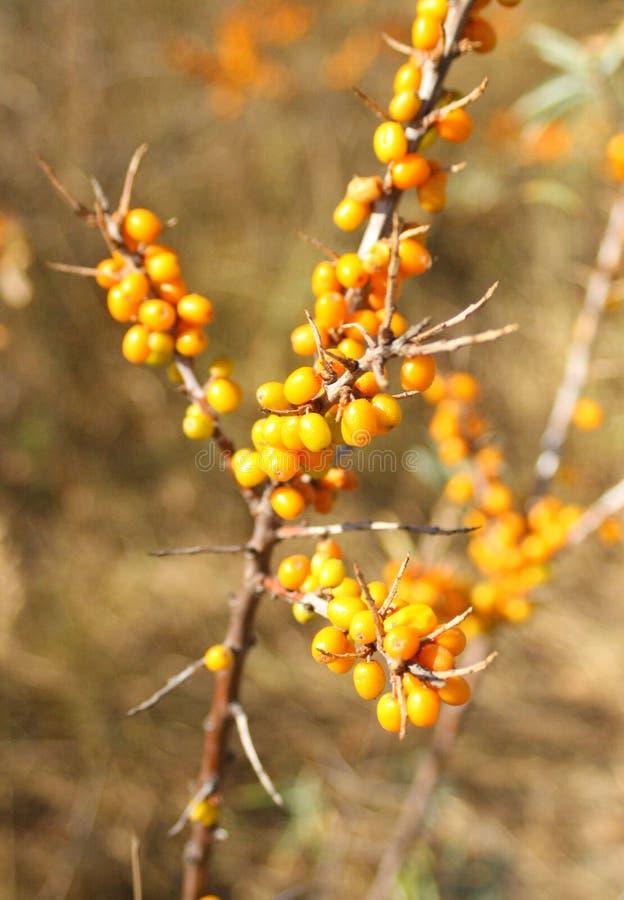 Olivello spinoso, natura e bacche arancio fotografia stock libera da diritti