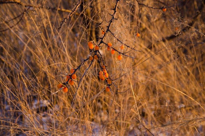 Olivello spinoso nell'inverno immagini stock