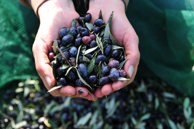 Oliven in der Hand stockbild