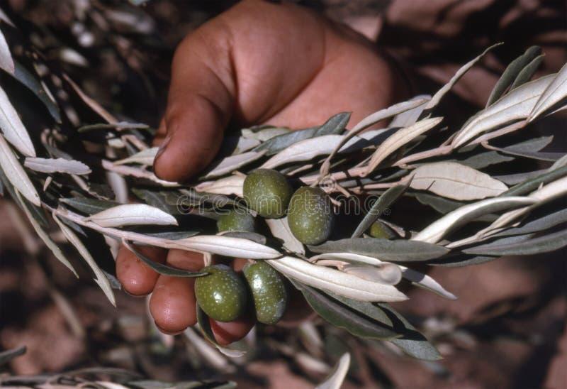 Download Oliven in der Hand stockfoto. Bild von blatt, frucht, olive - 9085490