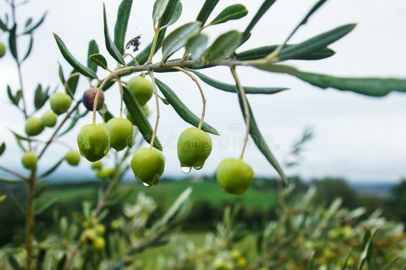 Oliven im Regen lizenzfreie stockfotos