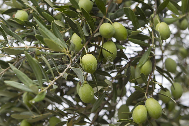 Olivenbäume lizenzfreie stockbilder