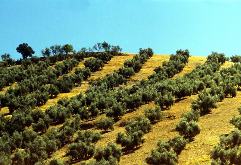 Olivenbäume stockbilder