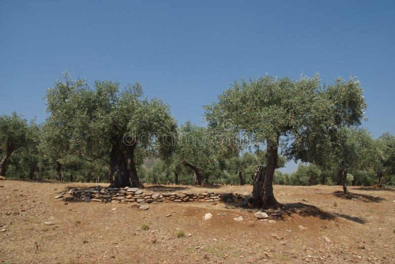 Olivenbäume lizenzfreies stockfoto