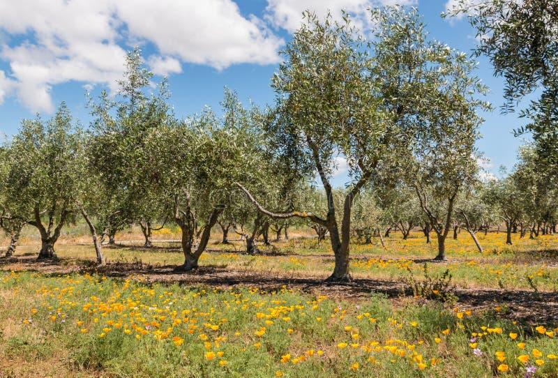 Olivenbäume in der Waldung mit Wiesenblumen lizenzfreies stockbild