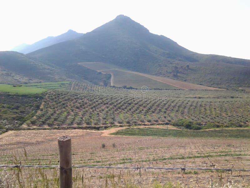 Olivenbäume gegen den Berg von Riebeek Vallei in mittlerem August stockfoto