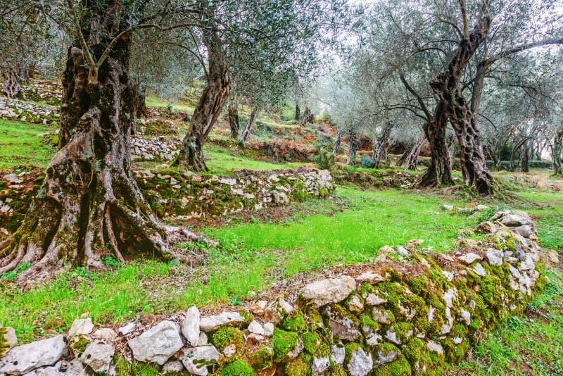 Olivenbäume im Herbst in Valdanos, Ulcinj, Montenegro lizenzfreie stockfotos