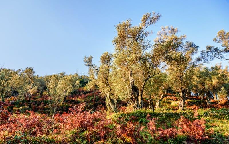 Olivenbäume im Herbst in Valdanos, Ulcinj, Montenegro lizenzfreie stockfotografie