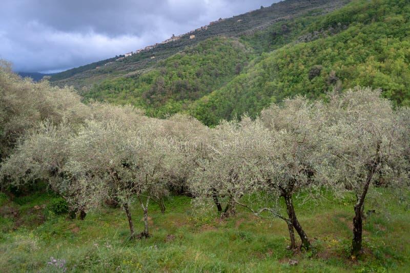 Olivenbäume nach Regen lizenzfreies stockbild