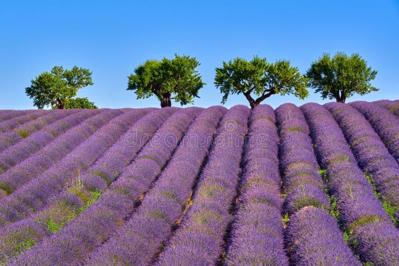 Olivenbäume und Lavendelfelder im Sommer auf Valensole-Hochebene Alpes-de-Haute-Provence, Frankreich lizenzfreie stockfotografie