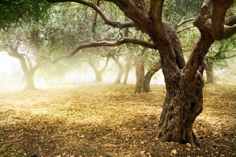 Olivenbaum lizenzfreie stockfotografie