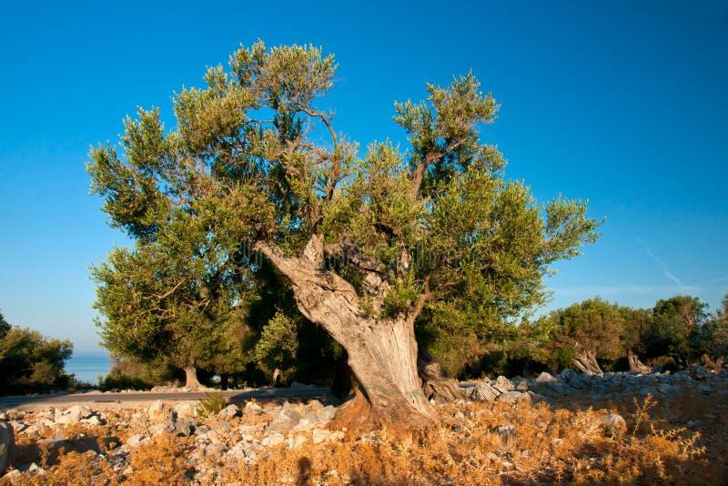 Download Olivenbaum stockfoto. Bild von monokultur, immergrün - 26354224
