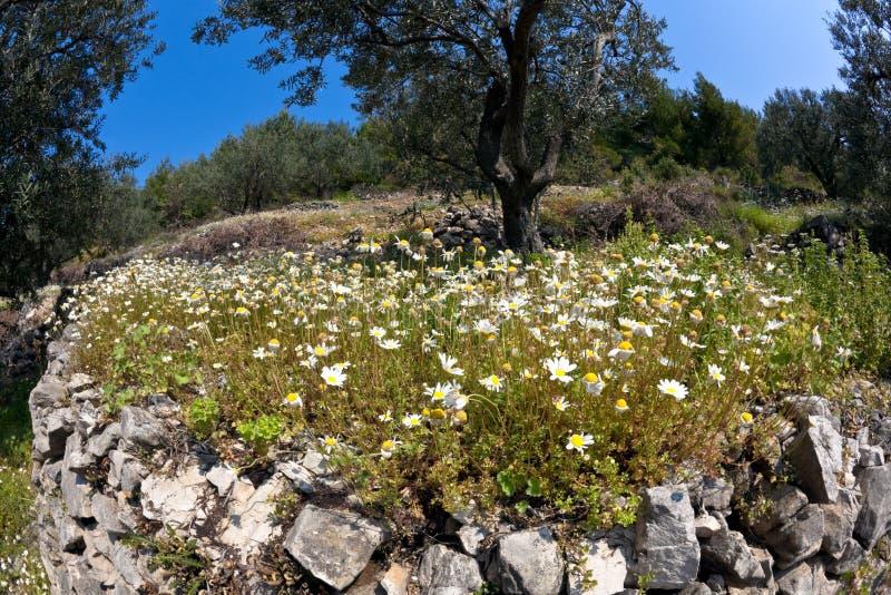Download Olivenbaum stockfoto. Bild von baum, wand, daises, wiese - 9096294