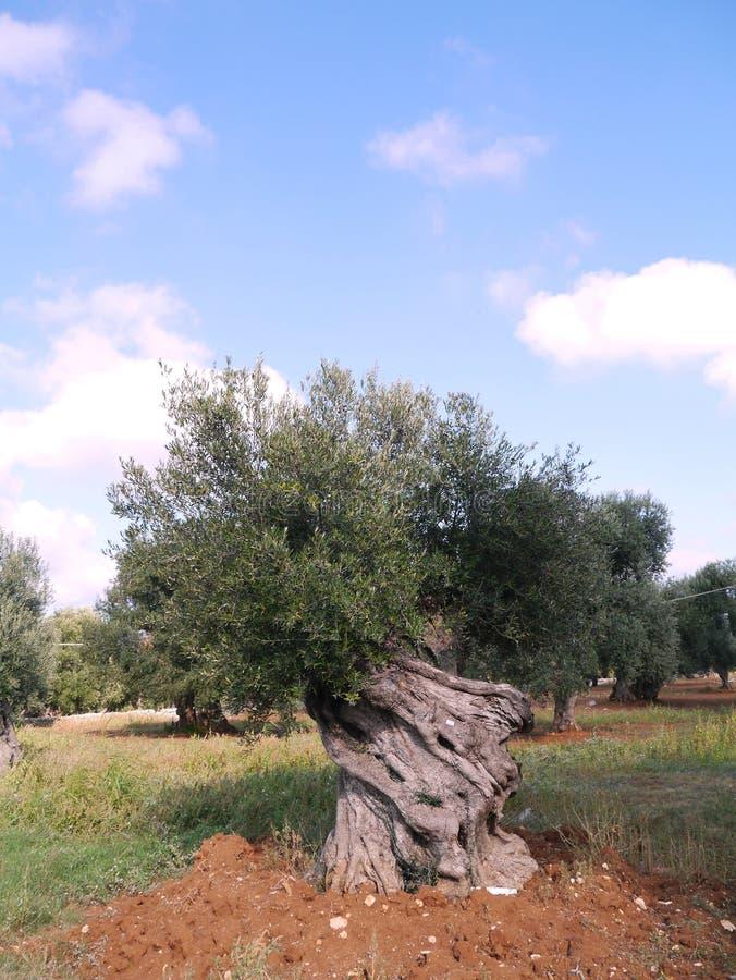 Olivenbaum im Herbst lizenzfreie stockfotografie