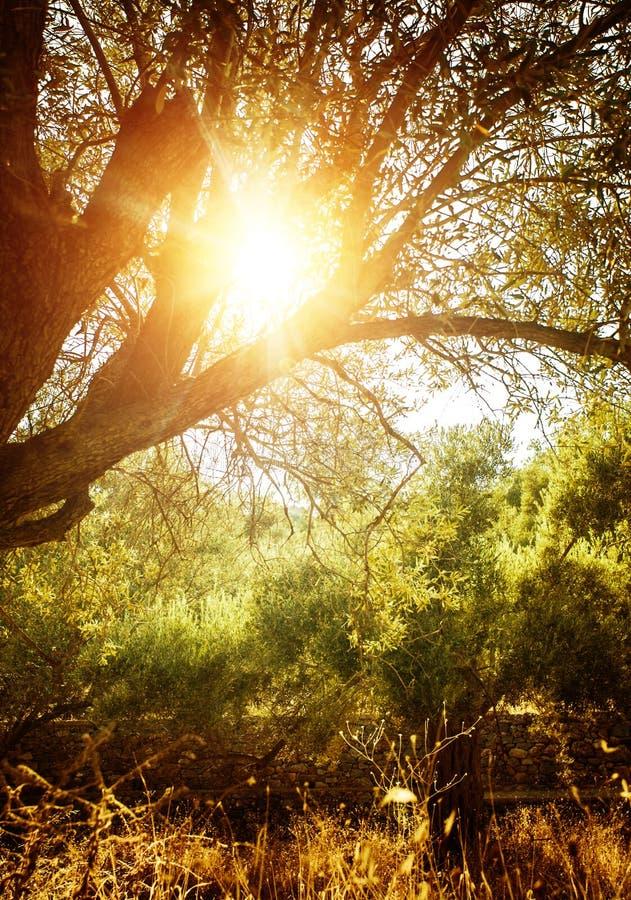 Olivenbaum im Sonnenlicht lizenzfreies stockfoto