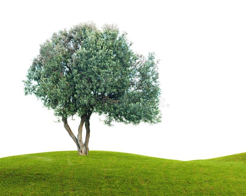 Olivenbaum lokalisiert auf Weiß lizenzfreie stockbilder