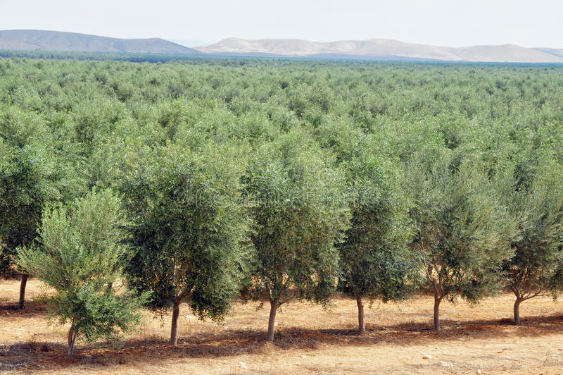Olivenbaum-Obstgarten stockbilder
