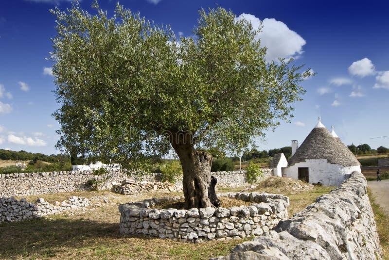 Olivenbaum und trullo lizenzfreie stockfotos