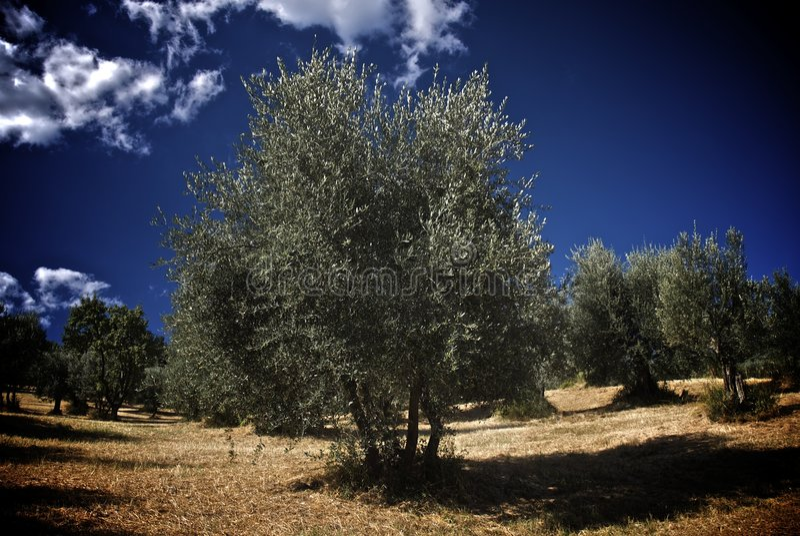 Olivenbaumfeld lizenzfreies stockbild