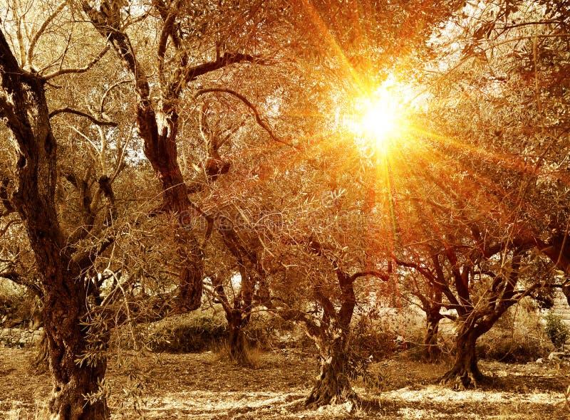 Olivenbaumgarten im Herbst stockbilder