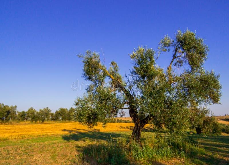Olivenbaumlandschaft stockbild