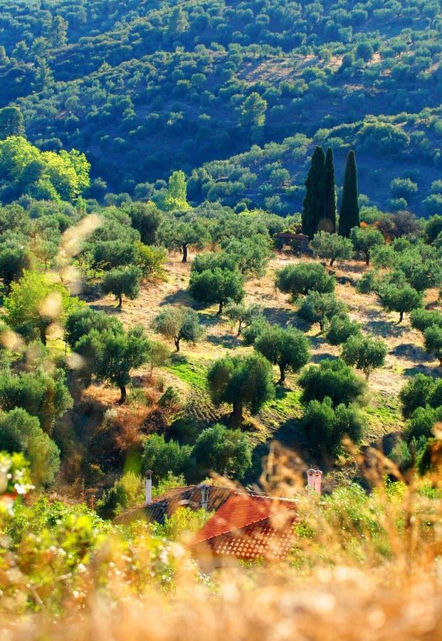 Olivenbaumobstgarten auf griechischem Abhang stockbild