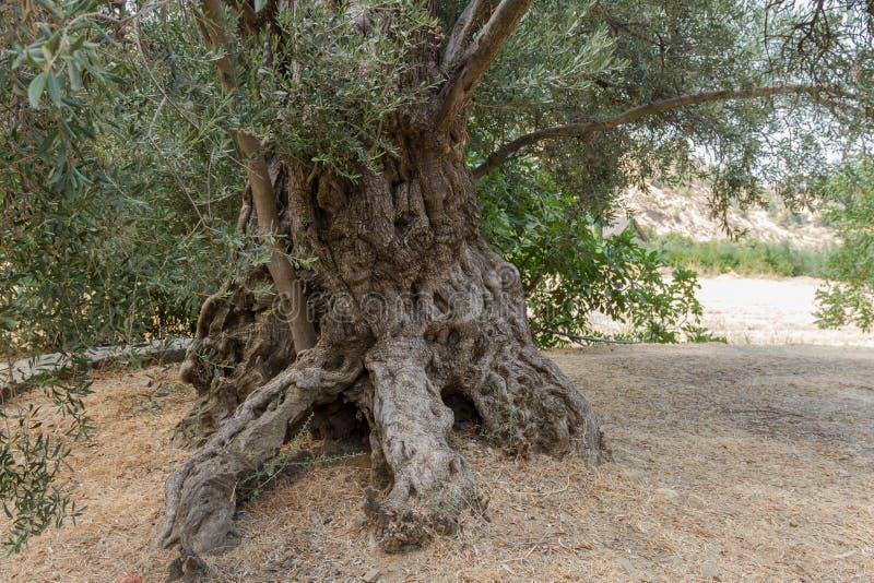 Olivenbaumstamm lizenzfreie stockfotografie