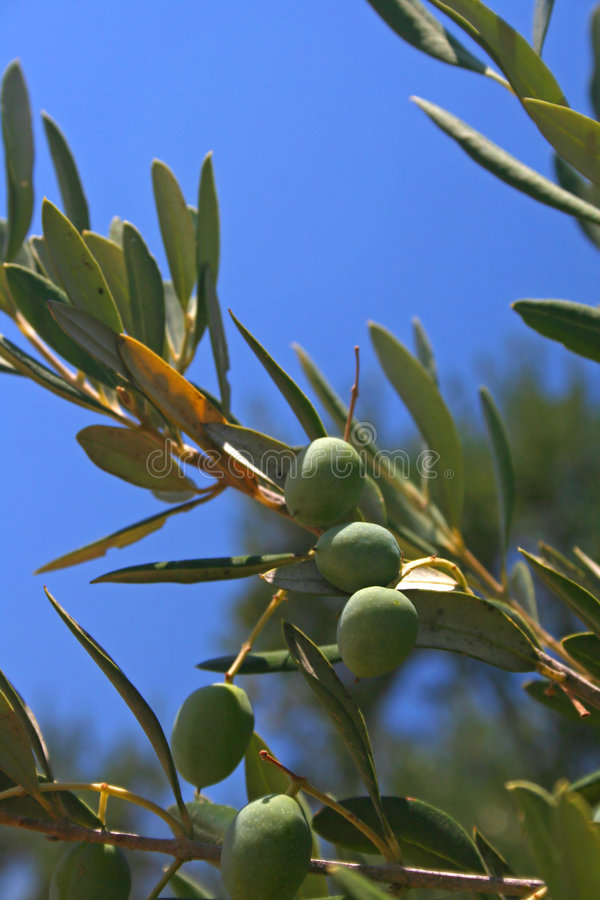 Olivenbaumzweig lizenzfreies stockbild
