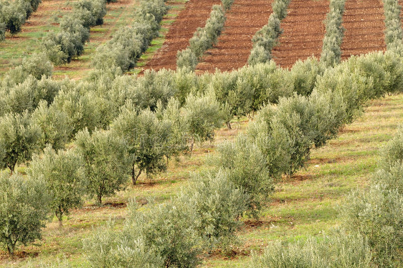 Olivenhain lizenzfreie stockfotografie