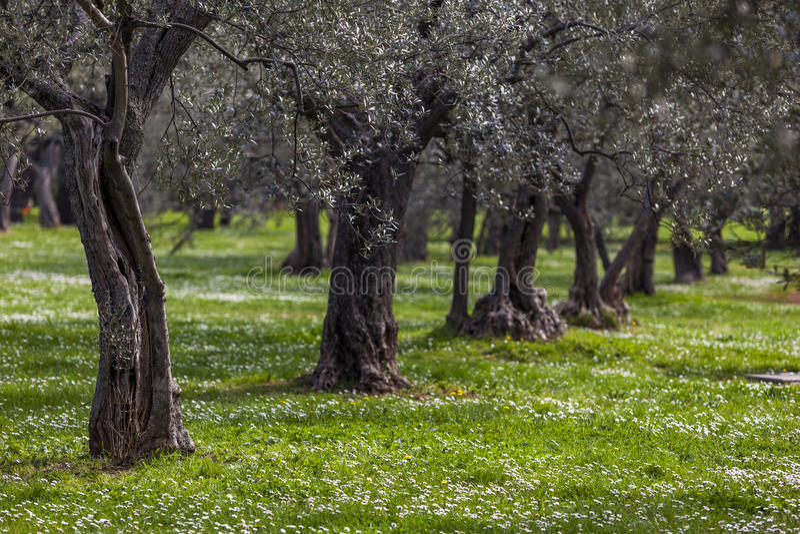 Olivenhain im Frühjahr stockbilder