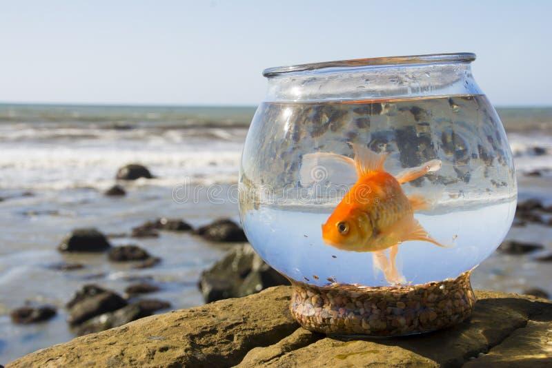 Oliver, de goudvis, zwemt over Vreedzame Oceaangetijdenpools 4 royalty-vrije stock foto's