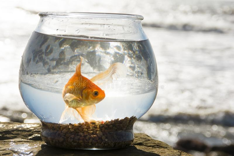 Oliver, de goudvis, zwemt over Vreedzame Oceaangetijdenpools 3 royalty-vrije stock afbeeldingen