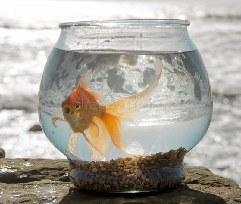 Oliver, le poisson rouge, bains au-dessus des piscines 1 de marée de l'océan pacifique image libre de droits