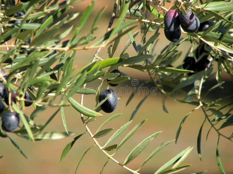 Olives in Andalucia 2 royalty free stock images