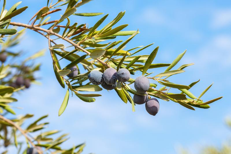 Olives on the branch of olive tree against blue sky.  stock photos