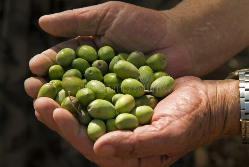 Olives dans la main de vieil homme photo libre de droits