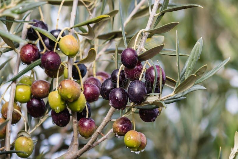 Olives de maturation avec des gouttes de pluie sur l'olivier photos libres de droits