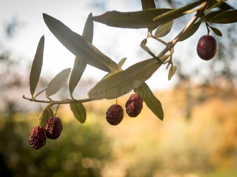 Olives de maturation sur la branche photo libre de droits