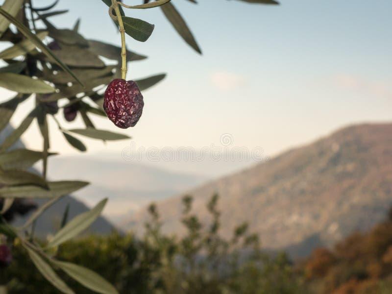 Olives de maturation sur la branche photos stock
