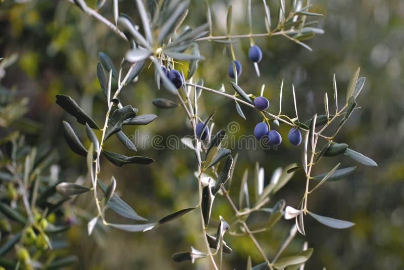 Olives de maturation vertes, arbre d'huile image libre de droits