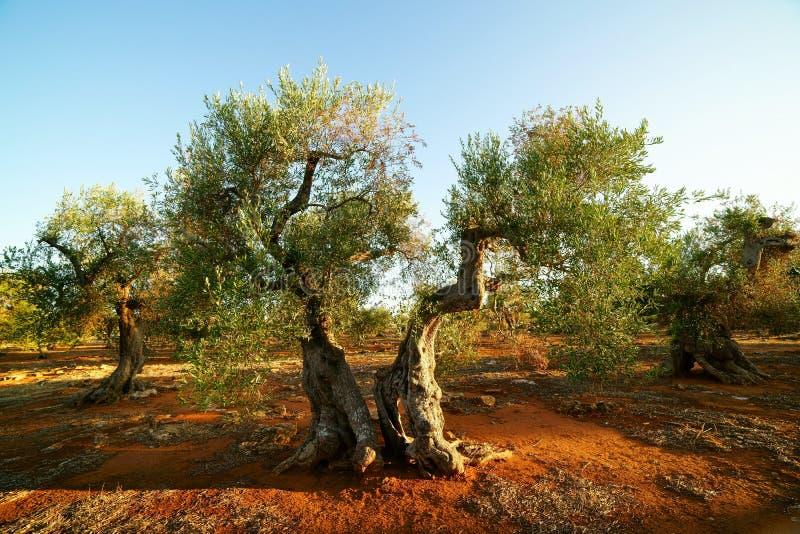 Olives de siècle au coucher du soleil image stock