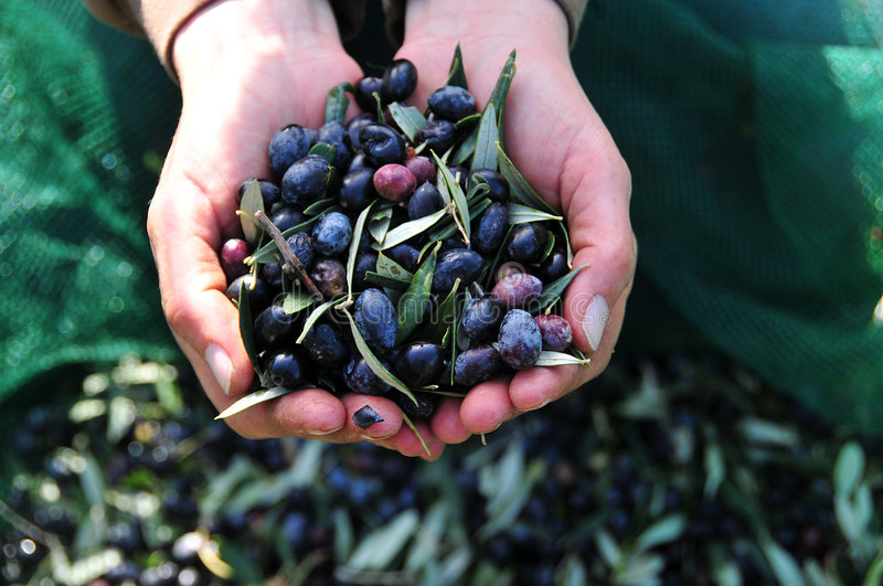 Olives in hand stock image
