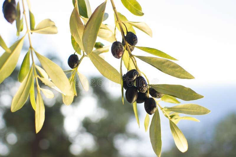 Olives mûres photos libres de droits