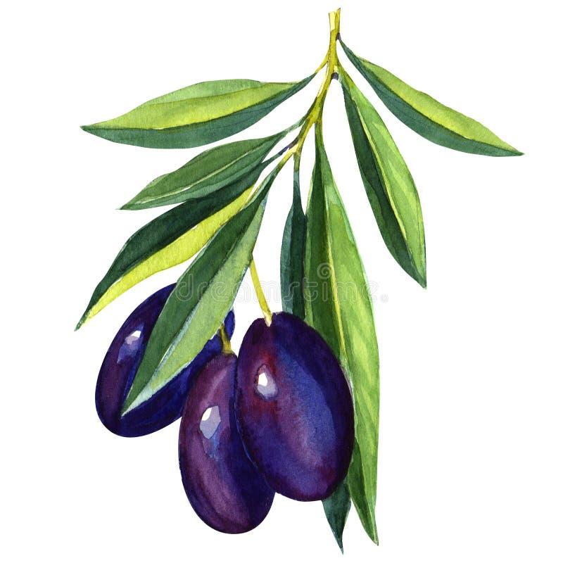 Olives noires sur la branche avec des feuilles illustration de vecteur