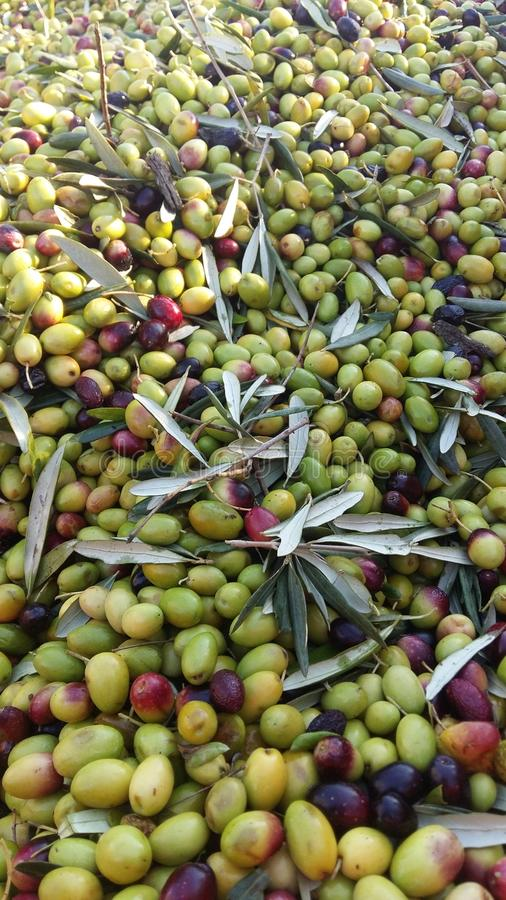Olives for olive oil royalty free stock images