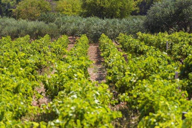 Olives, oliviers, vigne et vignobles d'île dalmatienne Brac, Croatie image stock