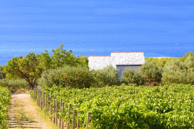 Olives, oliviers, vigne et vignobles d'île dalmatienne Brac, Croatie photo libre de droits